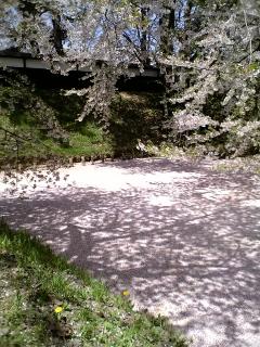 青森県・弘前城の桜